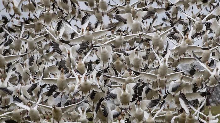 Angsa salju terlihat melakukan migrasi besar-besaran di Kanada untuk menghabiskan musim dingin.
