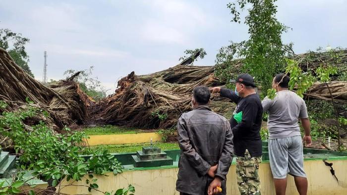 Pohon beringin di tengah Alun-alun Lumajang tumbang. Pohon tersebut tumbang dan terbelah menjadi tiga bagian.