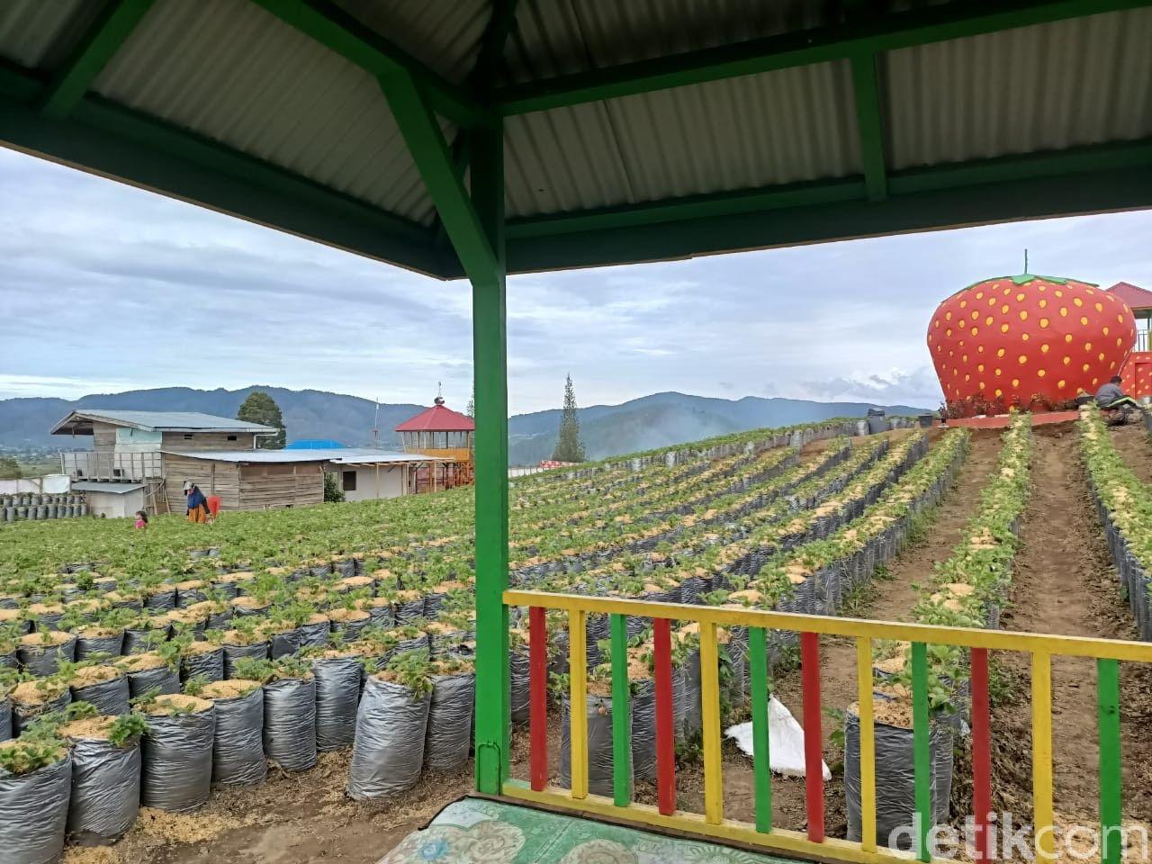 DZ Jikho Strawberry, Alahan Panjang Solok, Sumatera Barat