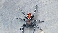Laba-laba Joker dan Belasan Spesies Lain Ditemukan Ilmuwan di 2020