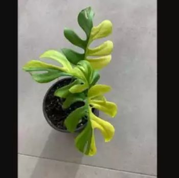 Variegated philodendron minima