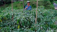 Kawasan Rawan Bencana di Klaten Juga Diguyur Hujan Abu Merapi
