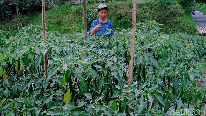 Kawasan rawan bencana (KRB) III dan II diguyur hujan abu akibat erupsi Gunung Merapi. Abu vulkanik tersebut terlihat di tanaman milik warga di kawasan itu.