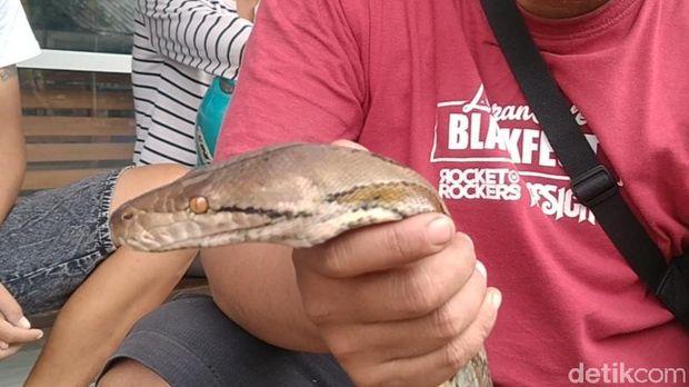 Ular sanca ditangkap warga di tengah banjir di Kota Pekalongan, Jawa Tengah, Selasa (19/1/2021).