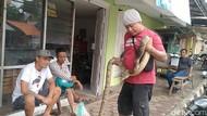 Hii... 2 Ekor Ular Sanca Ditangkap Warga di Tengah Banjir Pekalongan