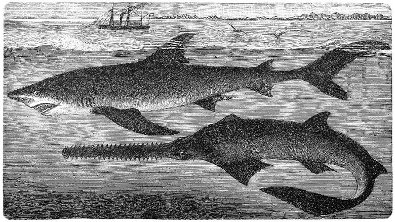 Illustration of a largetooth sawfish (Pristis microdon) and blue shark (Prionace glauca)