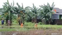 Buaya Muncul di Genangan Belakang Rumah Makassar, Kabur Saat Akan Ditangkap