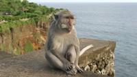 Monyet di Pura Uluwatu Pilih-pilih Barang Mahal buat Dirampas