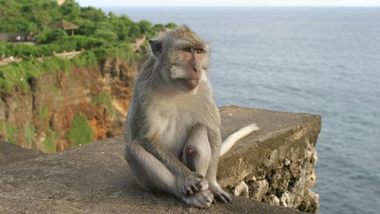 Monyet di Pura Uluwatu, Bali