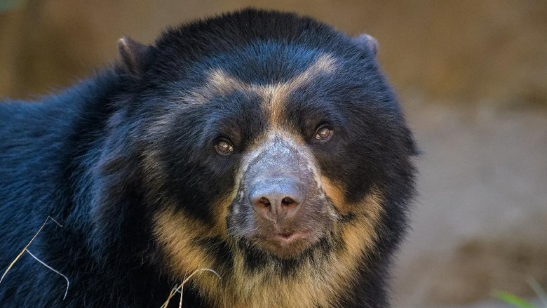 Closeup portrait of a spectacled bear