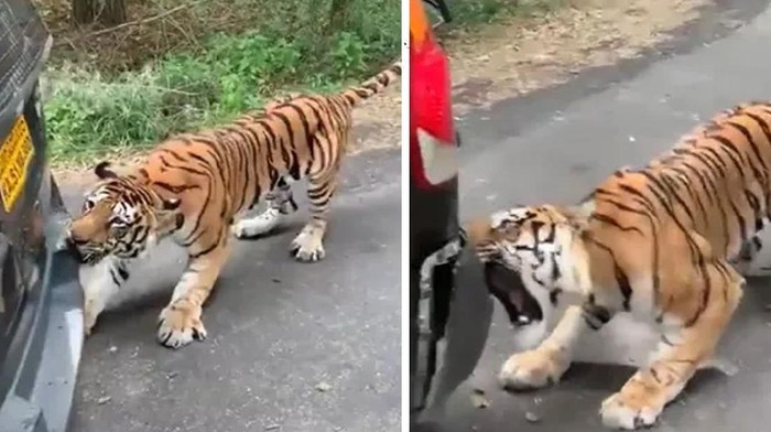 Harimau Bengal serang mobil