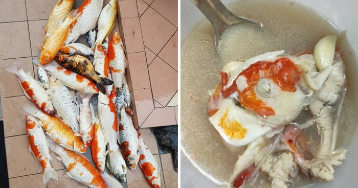 Ikan Koi Peliharaannya Mati, Wanita Ini Memasaknya Jadi Sup!
