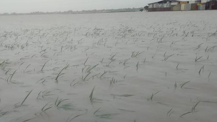 Sawah di Cirebon terancam puso gegara terendam banjir.