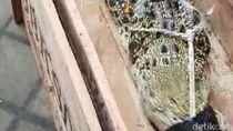 Buaya yang Ditangkap Warga Sidoarjo Diserahkan ke BKSDA Jatim