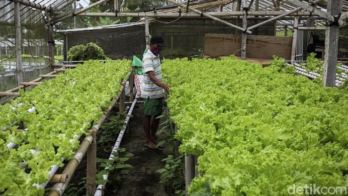 Pekerja menanam bibit selada hijau pada sentra pertanian modern Omah Hidro, Hargobinangun, Sleman, Yogyakarta, Jumat (22/1/2021). Menggunakan sistem pertanian hidroponik yang dapat menghemat tempat juga meminimalkan penggunaan pestisida.