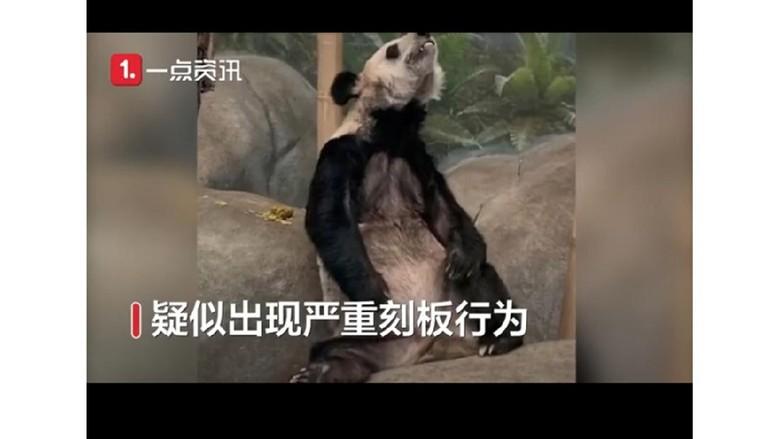 Giant Panda viral karena terlalu kurus