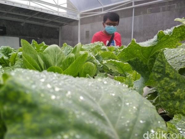 Setiap hari Sabtu kebun rutin menghasilkan 3.000 benih sayuran.