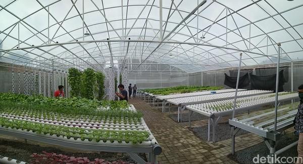 Di dalam green house ini ada 10 jenis sayuran, seperti selada hijau, pagoda merah, kangkung, pakcoy, kale, caisim dan lainnya.