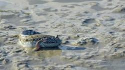 Ada Ikan Bisa Berjalan dari Papua, Sudah Tahu Belum?