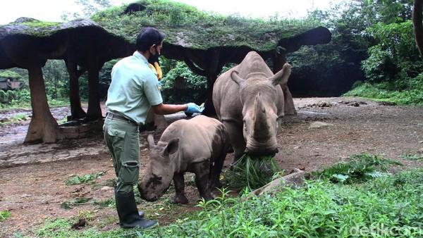 Sejak lahir pada Oktober tahun lalu, anak badak Azsyifa perlu dirawat selama tiga bulan sebelum dibawa keluar untuk dipublikasi.