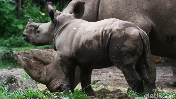 Kelahiran anak Badak Putih di Taman Safari Indonesia menjadi tambahan jumlah bagi badak yang ada.