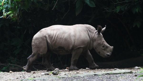 Anak badak Azsyifa merupakan badak dari negara Afrika Selatan yang menjadi jenis badak terbesar secara postur tubuhnya.
