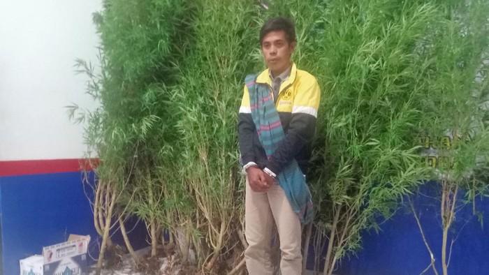 Petani di Bengkulu tanam ganja di rumahnya (Istimewa)