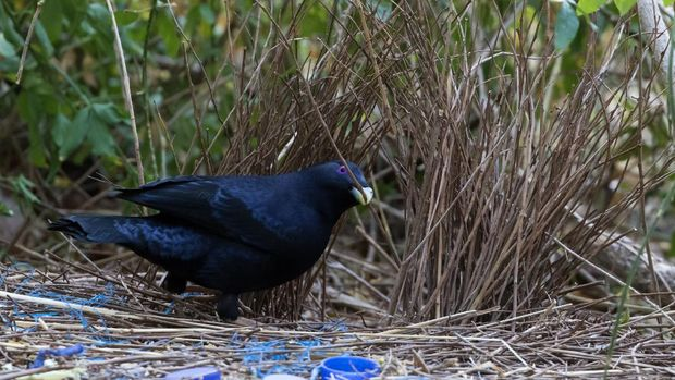 Satin Bowerbird building walls of Bower, Northern Rivers NSW, Australia