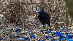 Spesies Burung Unik dari Papua: Si Namdur yang Hobi Menghias Sarang