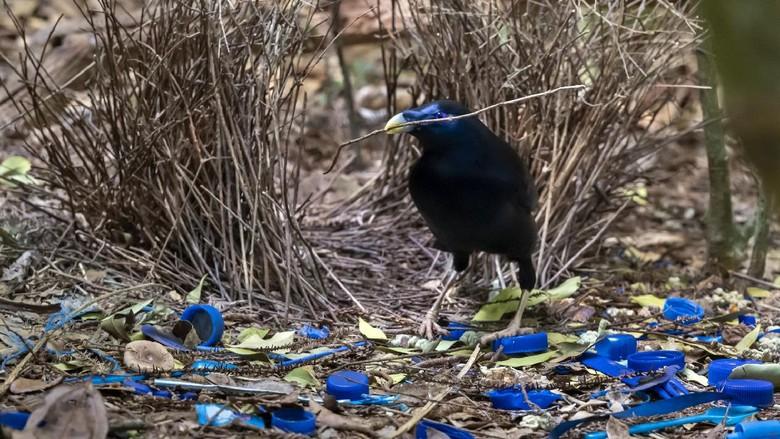 Male Satin Bowerbird (Ptilonorhyncus violaceus) in Lamington National Park, Queensland, Australia.