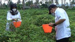 Pupuk Organik Dibagikan Gratis, Petani Cabai Banyuwangi Panen Lebih Banyak