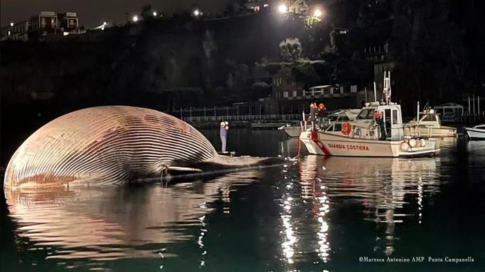 Bangkai paus sirip besar (Balaenoptera physalus) yang merupakan hewan terbesar kedua di dunia ditemukan di dekat pelabuhan Sorrento Italia awal pekan ini.