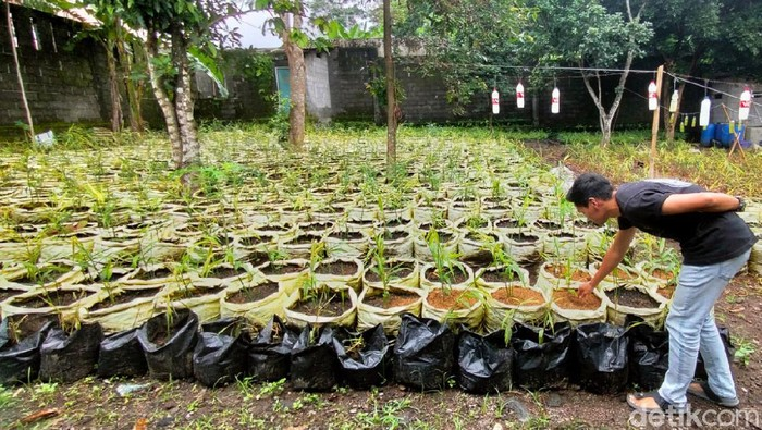 Pemuda 25 tahun asal Desa Bandorasa Kulon, Cilimus, Kuningan, Jabar ini memilih menjadi petani ketimbang bekerja di perusahaan. Kini dia menanam ribuan pohon jahe merah.
