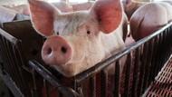 Wanita Ini Pelihara Babi Raksasa 130 kg yang Main dan Tidur di Dalam Rumah
