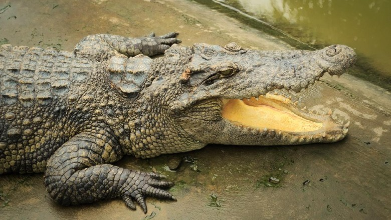 Siamese crocodile (Crocodylus siamensis) on a farm near My Tho, Vietnam. This is an endangered species of medium-sized freshwater crocodiles native to Indonesia.