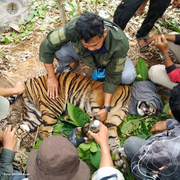 Balai Konservasi Sumber Daya Alam (BKSDA) Aceh pun mengirimkan Tim Medis untuk melakukan upaya penyelamatan. (Instagram @kementerianlhk)