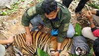 Kasihan Harimau Sumatera Kena Jerat