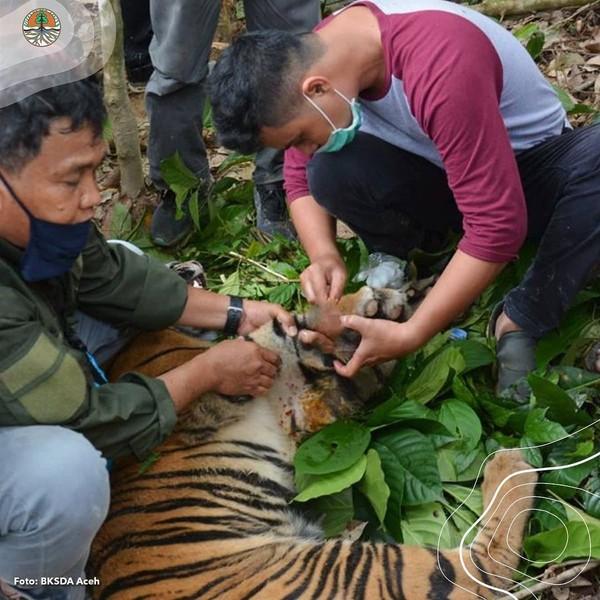 Dari pantauan BKSDA, harimau Sumatera itu sangat lemah karena dehidrasi saat ditemukan. Tim medis memperkirakan harimau ini sudah terjerat selama tiga hari. (Instagram @kementerianlhk)