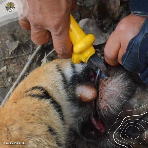 Tim medis harus membius untuk melepaskan jerat yang mengenai kaki depan sebelah kanan. Harimau Sumatera yang berjenis kelamin jantan itu diperkirakan berumur 1-1,5 tahun dengan berat 45-50 kg. (Instagram @kementerianlhk)