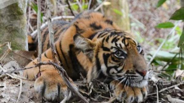Harimau Sumatera itu ditemukan oleh warga Desa Gulo, Kabupaten Aceh Tenggara. Peristiwa terjadi pada Jumat (22/1/2021). (Instagram @kementerianlhk)