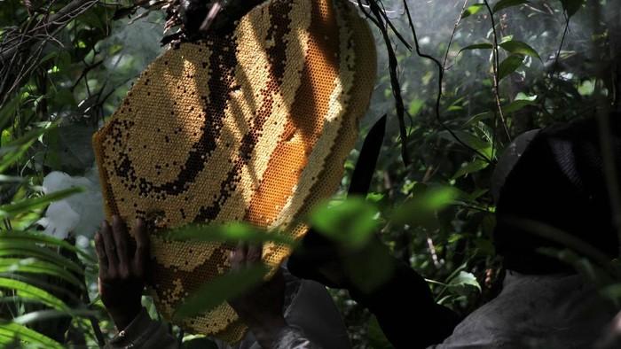 Petani pemburu lebah madu menunjukan tawon gong usai mengambil madunya di kawasan Gunung Landono di Desa Landono 2, Kecamatan Landono, Konawe Selatan, Sulawesi Tenggara.