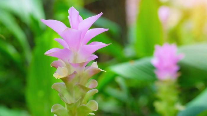 Ilustrasi bunga curcuma