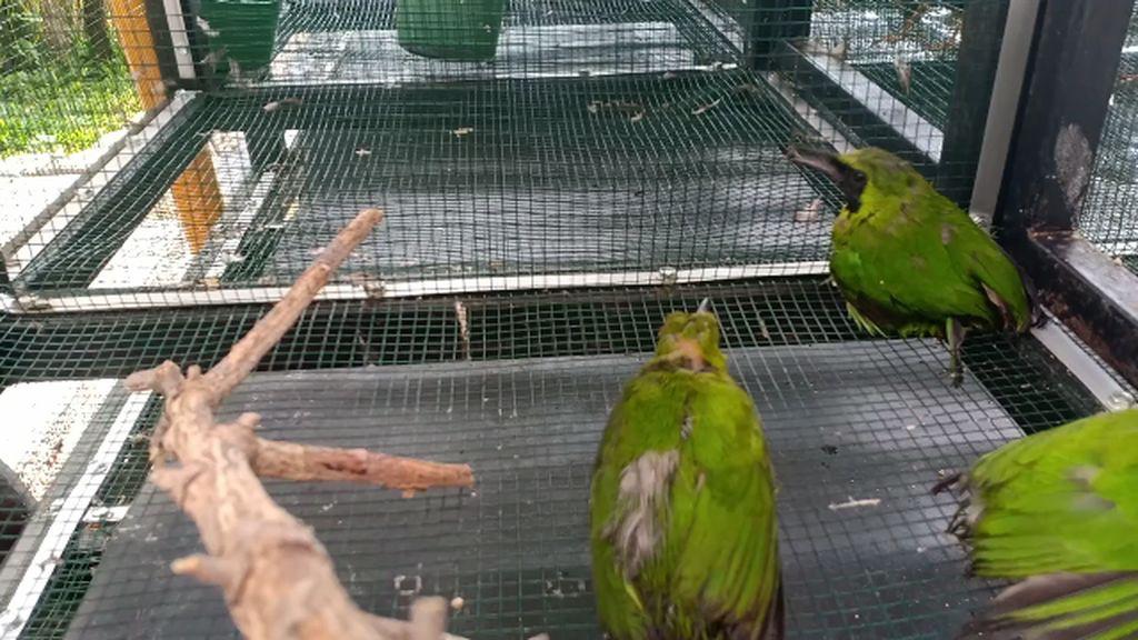 Petugas Karantina Gagalkan Penyelundupan Ratusan Burung di Parepare
