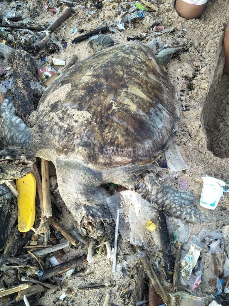 Miris! Bangkai Penyu Ditemukan di Tumpukan Sampah Pantai Bali (Foto: Istimewa)