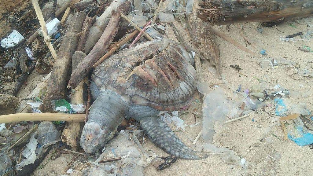 Miris! Bangkai Penyu Ditemukan di Tumpukan Sampah Pantai Bali