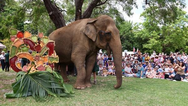 Untuk merayakan ulang tahun Gajah lansia ini, pihak kebun binatang menyiapkan kue ulang tahun membentuk angka 64.