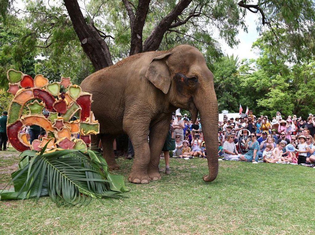 Momen Gajah Australia Rayakan Ulang Tahun ke-64