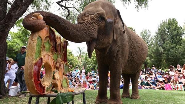 Seekor gajah menikmati kue ulang tahunnya di Kebun Binatang Perth, Australia, Minggu (25/1/2021) waktu setempat.