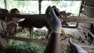 Pulang Mengungsi, Hewan Ternak Ini Disuntik Vitamin