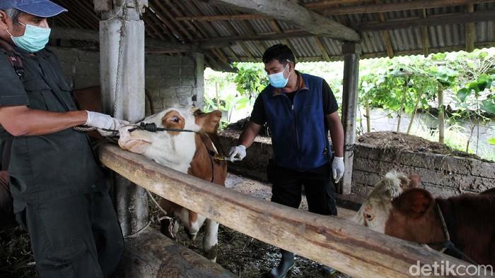 Sejumlah hewan ternak warga Sleman, Yogyakarta, disuntik vitamin. Penyuntikan vitamin B Komplek ini dilakukan usai hewan ini pulang dari pengungsian.